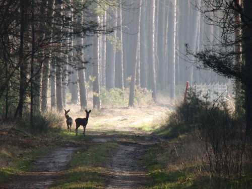 Deer in the forest between Juterbog and Muero