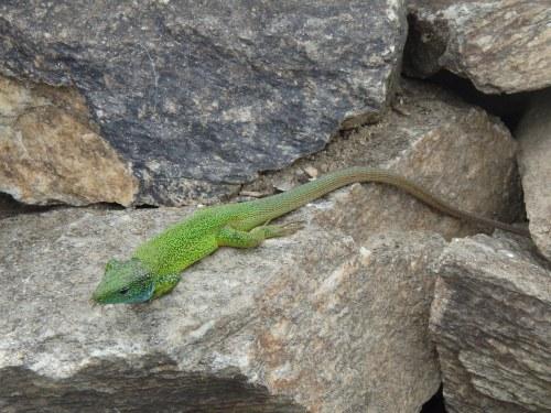 Lizard saying hello
