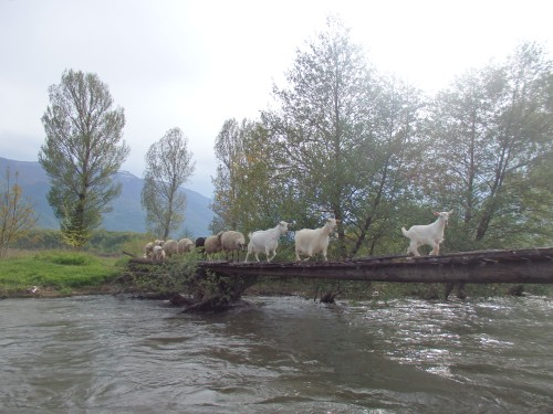 Goats crossing