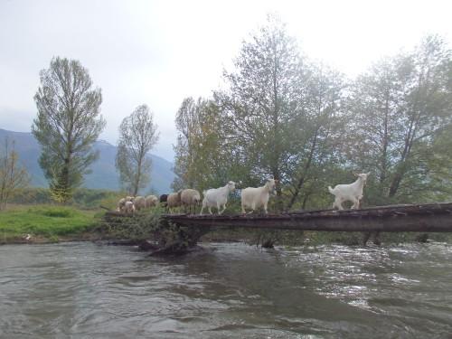Goats crossing