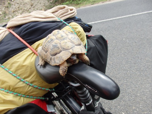 Rescuing tortoises from the road