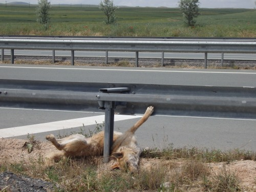 Road kill dog