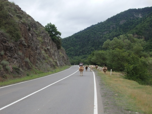 It's not just the Georgian drivers that have no respect for road safety - it's the cows too!